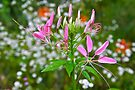 Spider Flower by NatureGreeting Cards ©ccwri