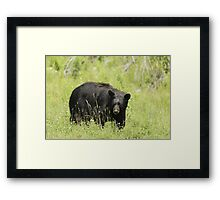 Black Bear in a pasture Framed Print