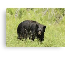 Black Bear in a pasture Canvas Print