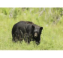 Black Bear in a pasture Photographic Print