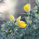 Ubiquitous Gorse by Anny Arden