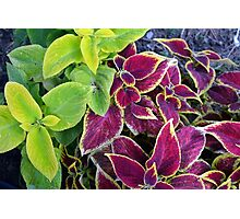Natural background with green and purple leaves. Photographic Print