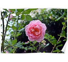 Pink rose on a natural green leaves background. Poster
