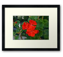 Red powerful color flower and green leaves background. Framed Print