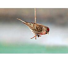 Common Redpoll Photographic Print