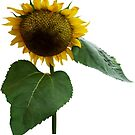 Bowing Sunflower by Susan Savad