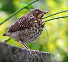Fledgling Song Thrush by GreyFeatherPhot