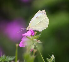 Large White by GreyFeatherPhot