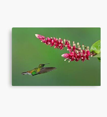 Coppery-headed emerald hummingbird - Costa Rica Canvas Print