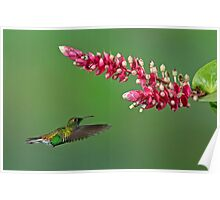 Coppery-headed emerald hummingbird - Costa Rica Poster