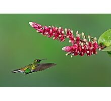Coppery-headed emerald hummingbird - Costa Rica Photographic Print