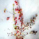 Winter Red Barberries by LouiseK