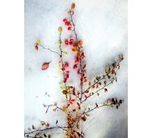 Winter Red Barberries Photographic Print