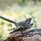 Grey Fantail by pcbermagui