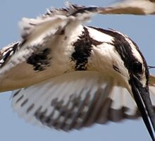 Pied Kingfisher - Hovering Sticker