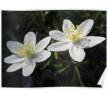 White Wood Anemones Poster