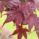 Japanese Maple by Laura-Lise Wong