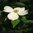 The Dogwood Blossom by Geno Rugh