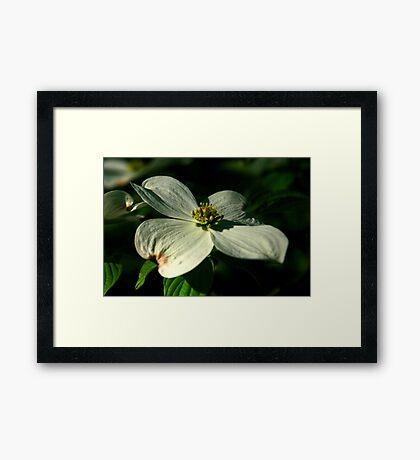 Blossom Of The Dogwood Tree Framed Print