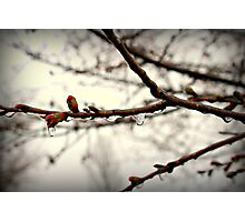Iced Blossoms Photographic Print