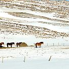 Icelandic Horses on Winter Landscape in Iceland by Sue Robinson