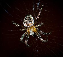 European Garden Spider by RandyHume