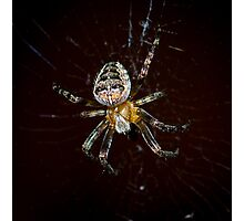 European Garden Spider Photographic Print
