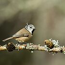 Crested Tit In Scottish Highlands by Sue Robinson