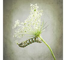 Swallowtail Caterpillar on Queen Anne's Lace Photographic Print