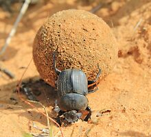Got to Love your Job - Dung Beetle Bounty by LivingWild