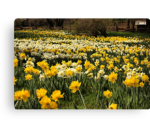 Daffodil Fields Canvas Print