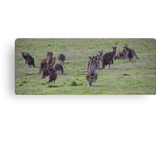 Group of Kangaroos Side road Eltham north Victoria Australia 20160618 7148 Canvas Print