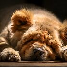Snooze - Ms Tea Chow-Chow by TAMÁS KLAUSZ