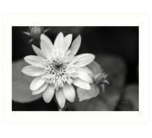 Black and White Sunrise Coreopsis Art Print
