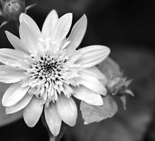 Black and White Sunrise Coreopsis by Christina Rollo