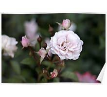 Pink Rose Blooms Poster
