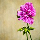 Just a geranium by Celeste Mookherjee