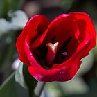 Red Tulip by indiafrank
