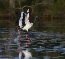The Leaping Jabiru Dance by byronbackyard
