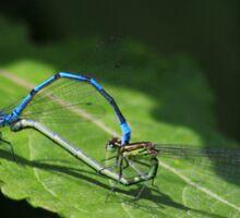 Azure damselflies mating on a leaf Sticker