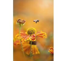 Helenium Collection Photographic Print