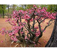 Impala Lily, Kruger National Park, South Africa Photographic Print