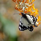 Little Pied Butterfly by kurrawinya