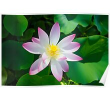 Beautiful lotus Poster
