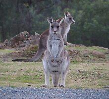 Kangaroos by ozscottgeorge