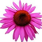 Pink Echinacea 2 by hootonles