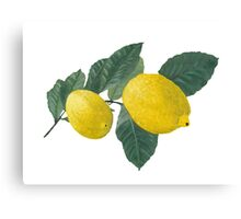 Oil painting of Two  Lemons and Leaves Canvas Print
