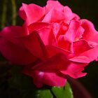 Pink Rose by Tony Blakie