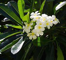 Frangipani (plumeria) flower by ellensmile