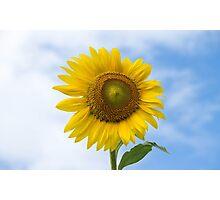 Sun Flower Against Blue Sky Photographic Print
